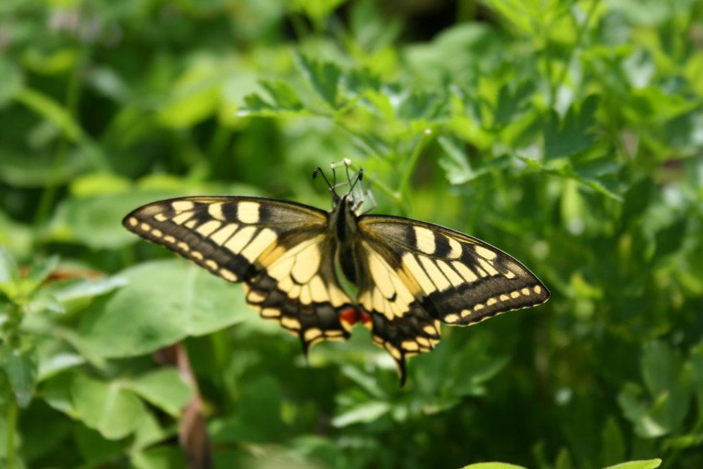 Mariposa del huerto 2010