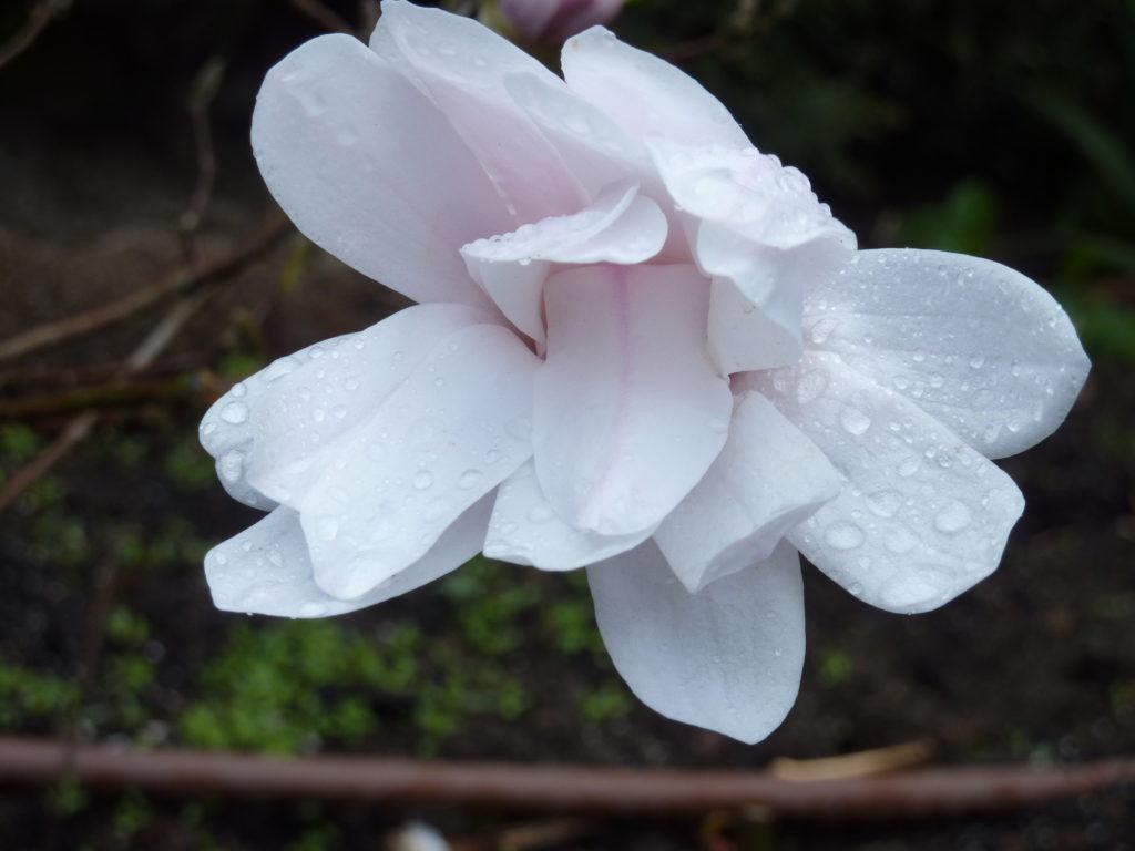 Magnolio stella 2012